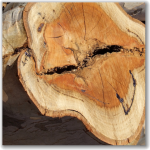 Included bark cross section